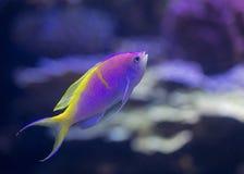 Anthias fish at Shedd Aquarium Royalty Free Stock Photo