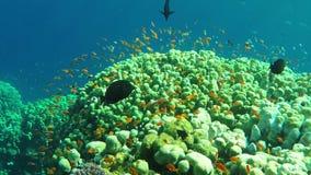 Anthias fish stock footage