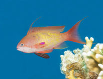 Anthias fish swimming in blue water Royalty Free Stock Photos