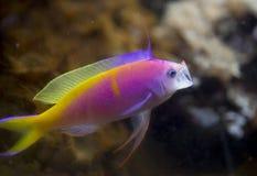 Anthias Fish Yawning At Shedd Aquarium Stock Photo Image Of Funny Fairy 117265126