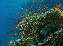 Anthias fishes in the reef Royalty Free Stock Images