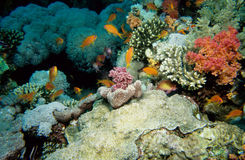 Anthias fiskRöda havet Royaltyfri Fotografi