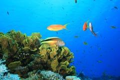 anthias hawkfish Στοκ φωτογραφίες με δικαίωμα ελεύθερης χρήσης