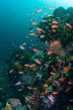 Anthias och vibrerande Coral Reef i den Komodo nationalparken arkivfoton