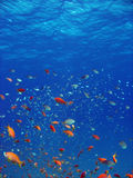 Anthias and other fish. Shot in the Red Sea stock photos