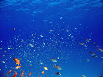 Anthias and other fish. Shot in the Red Sea Royalty Free Stock Photos