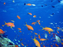 Anthias and other fish. Shot in the Red Sea stock images
