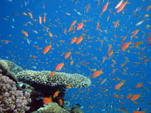 Anthias and other fish. Shot in the Red Sea royalty free stock photo