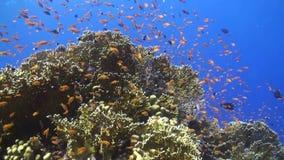 Anthias på en korallrev i Röda havet lager videofilmer