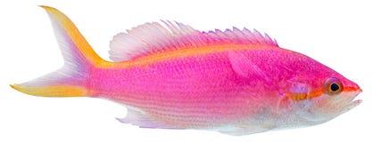 anthias pseudanthias紫色tuka 免版税图库摄影
