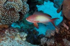 Anthias - rött hav Arkivfoton
