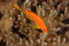 Anthias - Red Sea, Egypt. Pseudanthias squamipinnis is present in vast and colorful flocks on Red Sea reefs.  This picture was taken on St John's Reef, Red Sea Stock Photography