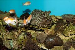 Anthias Reef Fishes in Aquarium Stock Photos