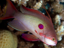 Anthias Saltwater Fish. A close-up underwater photo of a Anthias fish ( Anthiinae ) in the tropical Red Sea stock photography