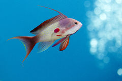 Anthias Saltwater Fish Royalty Free Stock Photo