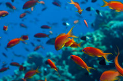 Anthias shoal. Lyretail Anthias {Pseudanthias squamipinnis} gather in huge shoals over Red Sea reefs. October stock image