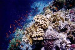 Anthias sur le récif Images stock