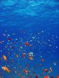 Anthias und andere Fische Stockfotos