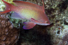 Anthias van Lyretail Stock Foto