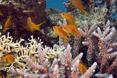 Anthias van Oman (pseudoanthiasmarcia) stock foto's