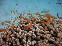 Anthias y coral Imagen de archivo libre de regalías