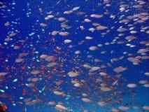Anthias y otros pescados Imágenes de archivo libres de regalías