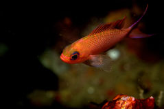 Anthias. Young male specimen of anthias Stock Images