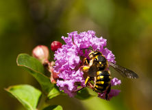 Anthidium bee pollinating a mauve flower. Stock Image