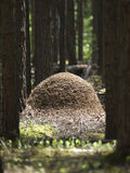 Anthill. Huge anthill in the pine forest Stock Photo