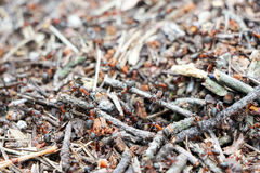 Anthill ants burrow Royalty Free Stock Image