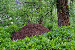 Anthill royalty free stock images