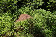 Anthill in in a blueberry bushes. Big ants house, anthill in in a blueberry bushes stock photo