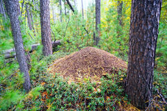 Anthill among cedars in the forest  summer . Royalty Free Stock Photos