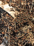 Anthill in early spring Royalty Free Stock Photo