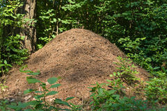 Anthill in a forest Royalty Free Stock Photography