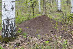 Anthill in the forest Royalty Free Stock Photo