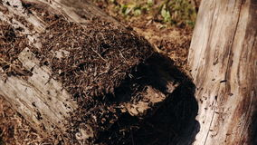 Anthill in the forest stock footage