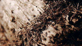 Anthill in the forest stock video footage