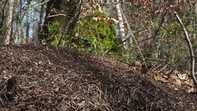 Anthill in the forest. In the foreground is clearly seen an ant hill and forest in the background. stock footage