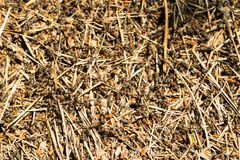 Anthill in the forest. Large colony of ants Stock Images