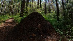 Anthill in forest. Pan stock footage