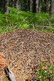 Anthill in the forest of pine on a background of fern and bluebe Royalty Free Stock Photo