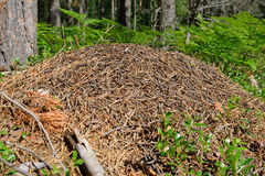 Anthill in the forest of pine on a background of fern and bluebe Stock Photos