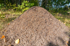 Anthill in a forest. Royalty Free Stock Images