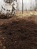 Anthill in forest Stock Image