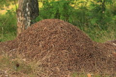 Anthill in the forest Stock Photography