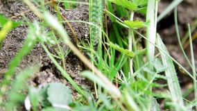An anthill in the grass. A lot of ants are running around on the ground, saving their eggs, their offspring. The. Destroyed anthill stock video