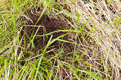 Anthill on the grass Royalty Free Stock Photography