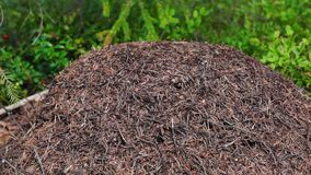 Anthill life in summer forest stock video footage