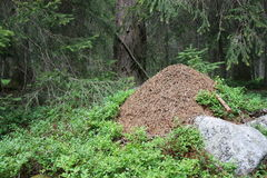 Anthill in the moutain forest (DOLOMITI).  Royalty Free Stock Image